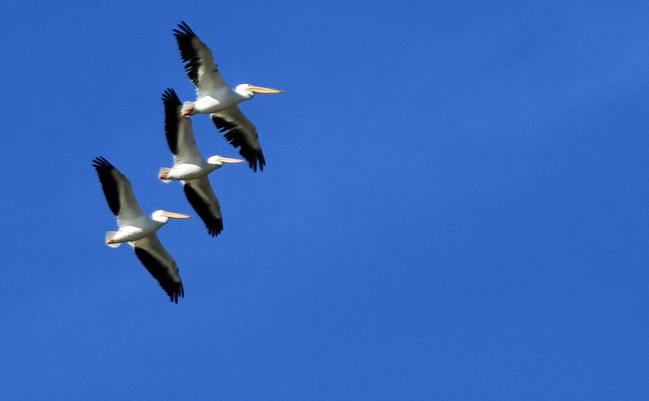 American White Pelican - San Joaquin Wildlife Sanctuary, Irvine CA