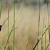 Orange  Bishop - Lifer #726, San Joaquin Wildlife Sanctuary, Irvine, CA