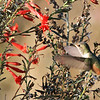 Allen's Hummingbird - San Joaquin Wildlife Sanctuary