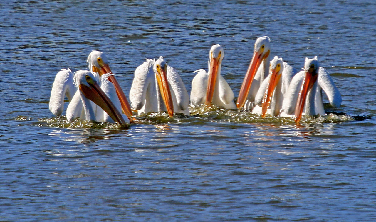 American White Pelican - Communal Fishing