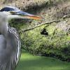 Great Blue Heron - San Joaquin Wildlife Sanctuary