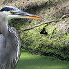 Great Blue Heron - San Joaquin Wildlife Sanctuary