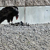 Turkey Vulture - Dining on American Coot