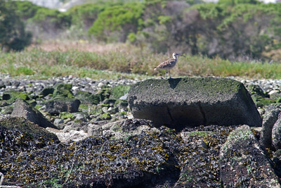 Whimbrel, one of the few shorebirds we saw.