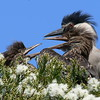 Night Heron chicks squabbling, Baylands, Palo Alto, California