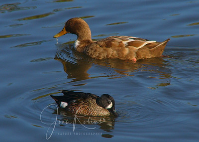 Blue-Winged Teal  and friend