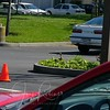 """Day 4 -  A traffic cone now assures that no one will park in """"her"""" space. There she is, returning after yet another bothersome event: we posted a sign on the tree next to her nest."""