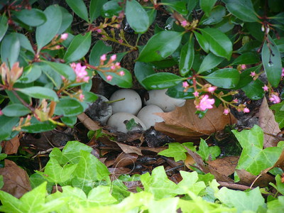 Day 1 Stephen Greer notices that a Mallard duck has taken up residence under a bush in the parking lot. She's clearly expecting a family.