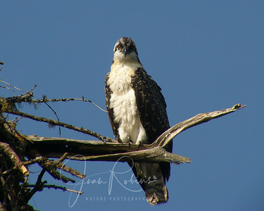 Young Osprey giving me the Look