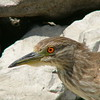 Baby Night Heron (BEFORE green color fringe removed from rock edges)