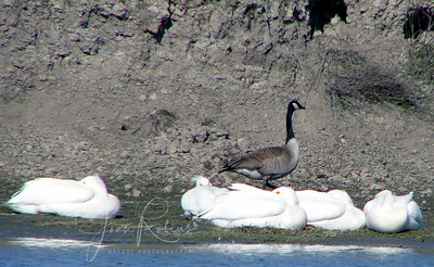 Sleeping White Pelicans and Goose