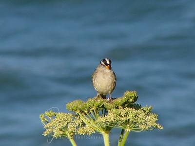 White-crowned sparrow (ocean background)