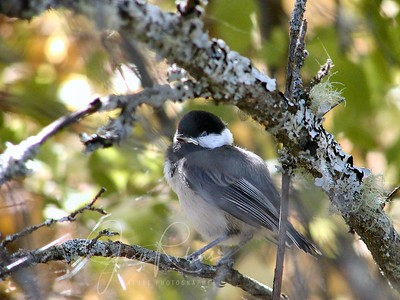 Chickadee at Flathead Lake Mt (taken with Olympus UZ 2100)