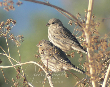 Finches in Morning Light
