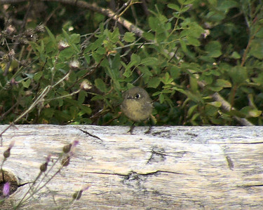 Ruby-crowned Kinglet?