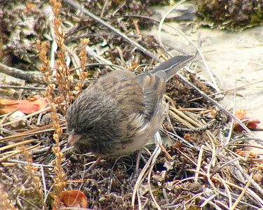Juvinile Dark-eyed Junco