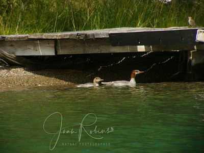 Common Merganser Mom and Youth