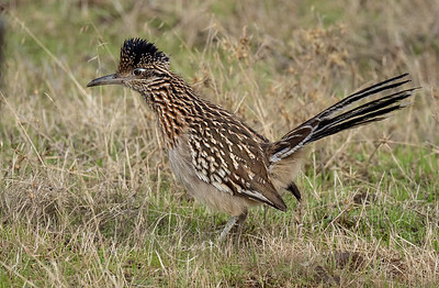 Roadrunner near Pinnacles CA