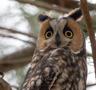 The perpetual surprise of a Long-eared Owl, Mercey Springs, CA