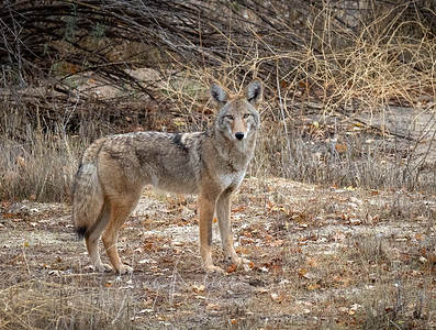 Coyote near Pinnacles CA