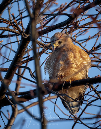 Red-shouldered Hawk in my front yard this morning!
