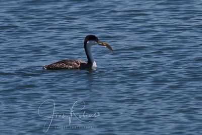Grebe  with lunch