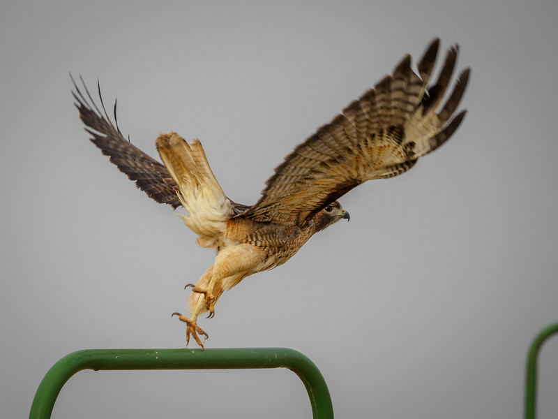 Red-tailed Hawk takeoff
