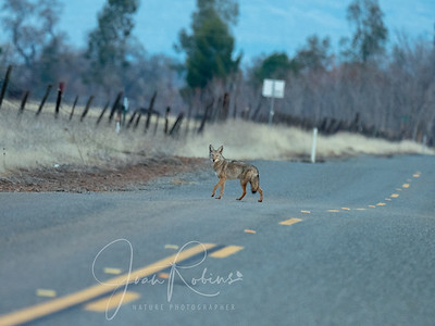 Coyote on the road before dawn