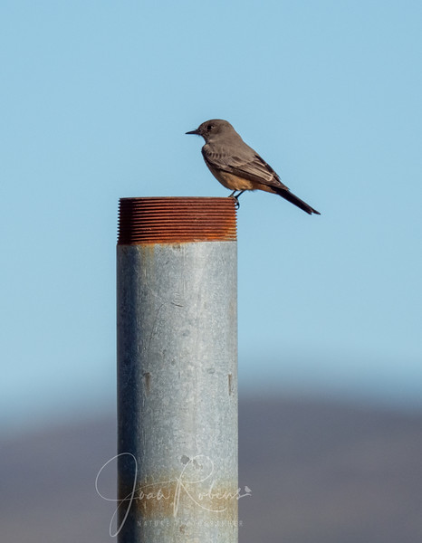 Yet another Say's Phoebe with a matching pipe