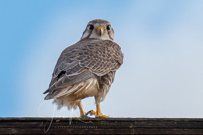Prairie Falcon eyeing my long lens, Chico back roads