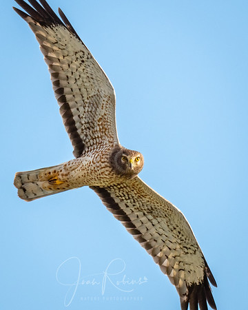 Young male Northern Harrier