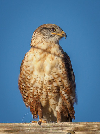 First Ferruginous Hawk of the season