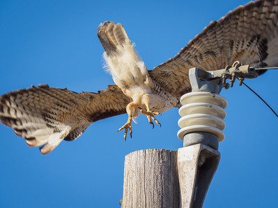 Typical throwaway photo of redtail takeoff