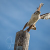 Ferruginous Hawk, Back Roads, Chico, CA