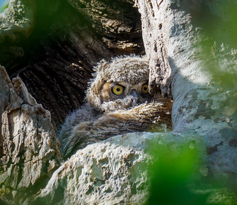 Great-horned Owl Nest