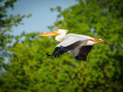 White Pelican floating by