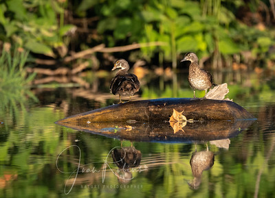 Juvenile Wood Ducks, male and female