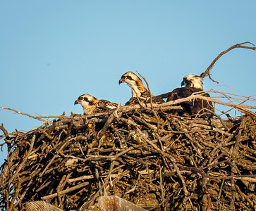 Black Butte Osprey Chicks on June 3