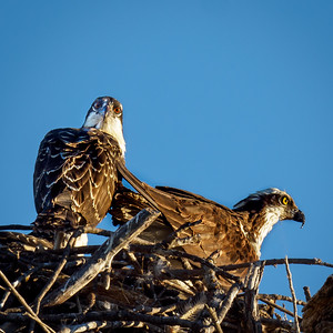Osprey mom and chick June 30