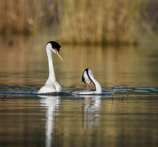Western Grebes - Reciprocal Postures