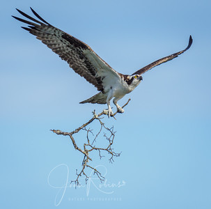 Osprey bringing large branch!