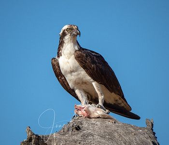 Osprey with lunch near Black Butte Lake, CA