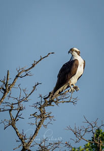 Handsome Osprey