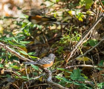 Spotted Towhee with a friend in a hurry