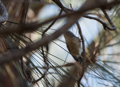 Bad photo of a Golden-crowned Kinglet?