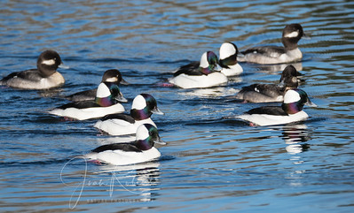 A speedy squad of Buffleheads