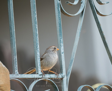 Young White-crowned Sparrow?
