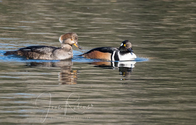 The stars of the show, Mr. and Mrs Hoodie Merganser