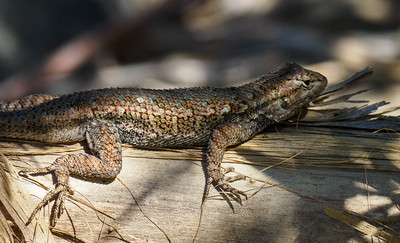 Western Fence Lizard or Blue Belly