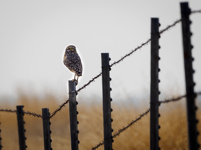 Burrowing Owl at Thermalito Afterbay